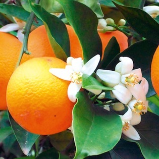 Orange (sweet)  - Citrus sinensis   |  Brazil   |   Organic
