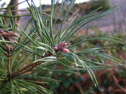 Pine Needle  -  Pinus sylvestris      France       Organic