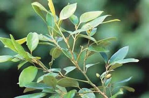 Ravensara -  Ravensara aromatica   |  Madagascar   |  Organic