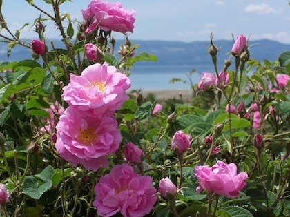 Rose Absolute -  Rosa damascena   |  Turkey   |  Conventional