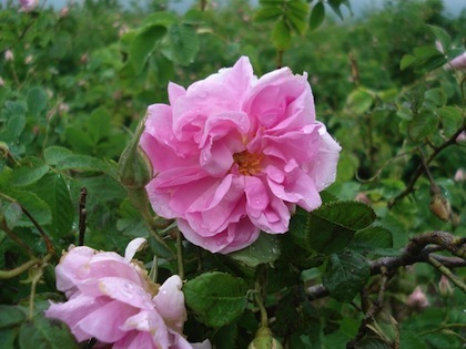Rose Otto -  Rosa damascena   |  Bulgaria   |  Organic