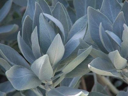 Sage White Blend   -   Salvia apiana-artemisia |  Canada   |  Organic