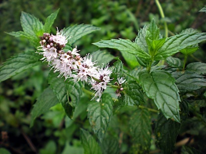 Spearmint   -   Mentha spicata   |   South Africa   |  Organic