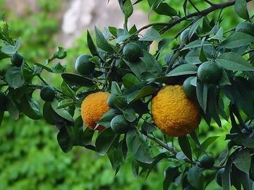 Bergamot - Citrus bergamia   |  Italy   |   Organic