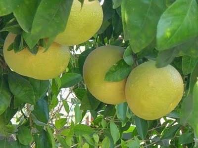 Grapefruit (white)  -  Citrus paradise   |   South Africa   |   Conventional