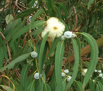 Eucalyptus Globulus  -  Eucalyptus globulus   |   France   |   Organic