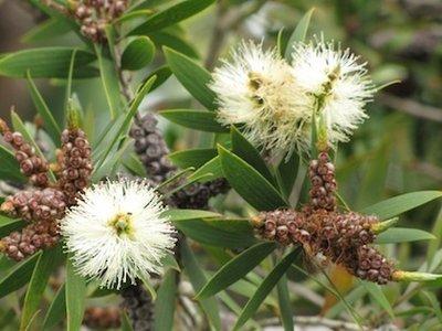 Niaouli  - Malaleuca quinquenervia   |  Madagascar   |   Organic