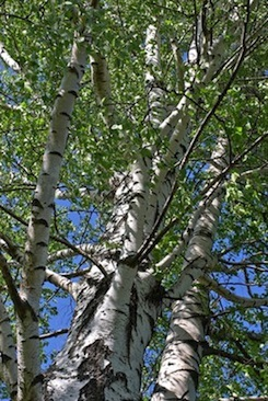 Birch - Betula lenta  |  Europe   |   Wild Harvest