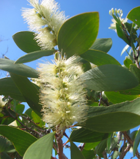 Cajeput  -  Melaleuca leucadendron  |  China   |   Conventional