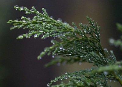 Cypress (Blue)  -  Callitris intratropica   |   Morroco   |   Wild harvest