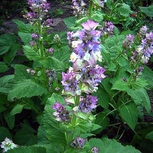 Clary Sage  -  Salvia sclarea   |   France   |   Organic