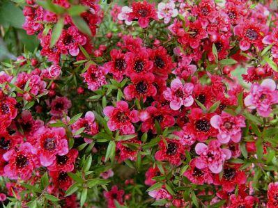 Manuka  -  Leptospermum scoparium   |  New Zealand   |   Wild Harvest