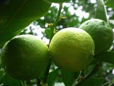 Lime -  Citrus aurantifolia   |   South Africa   |   Conventional