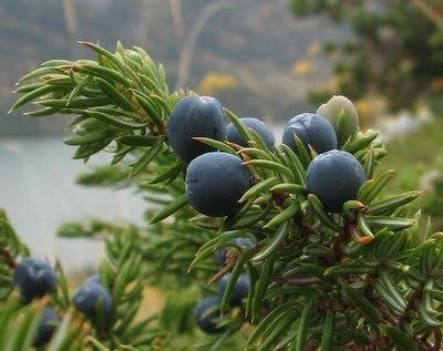 Juniper Berry  -  Juniperus communis   |   India   |   Organic