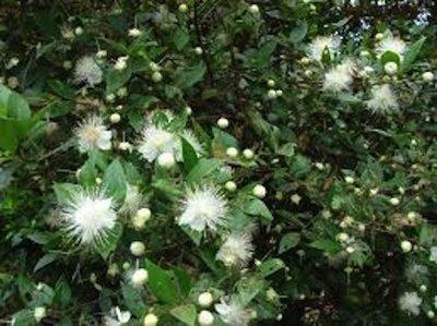 Myrtle  -  Myrtus communis   |  Corsica   |   Wild Harvest