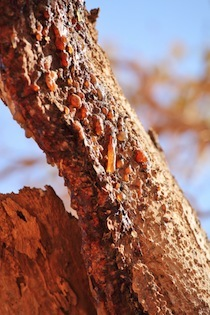 Myrrh  -  Commiphora myrrha   |  N. Africa   |   Wild Harvest