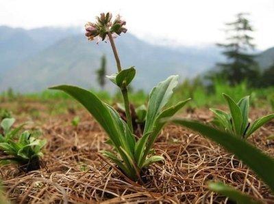 Spikenard   -   Nardostachys jatamansi   |  Nepal   |  Wild Harvest