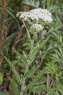 Yarrow  -  Achillea millefolium  |  France  |  Organic