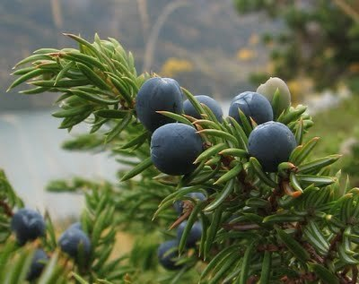Juniper Berry  -  Juniperus communis   |   India   |   Organic