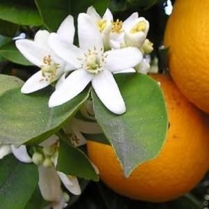 Nerioli Absolute  -  Citrus aurantium   |  Egypt   |   Conventional