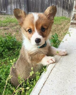 Brandon corgi puppy