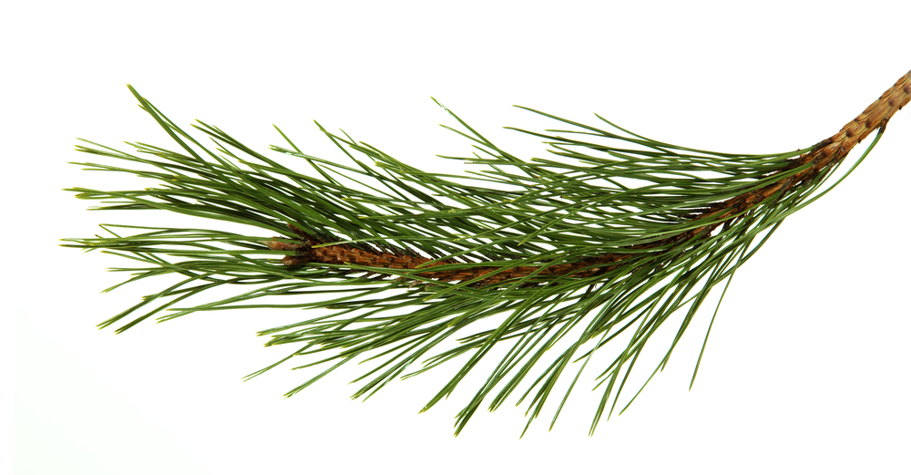 Black Pine Pure Essential Oil
