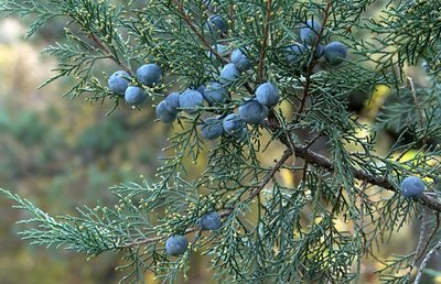 Juniper Berry Pure Essential Oil - Hungary- GC Report