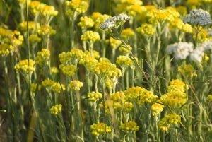 Helichrysum, Organic (Helichrysum italicum) Pure Essential Oil Analysis Report
