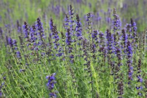Hyssop Organic Pure Essential Oil​ Analysis Report