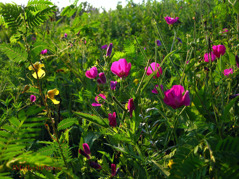 Late Sun on Mallow, Patridge Pea - Wisconsin August 2012