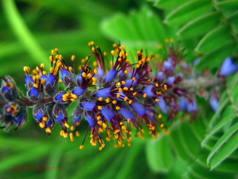 Leadplant Flowers, Macro - July 2012