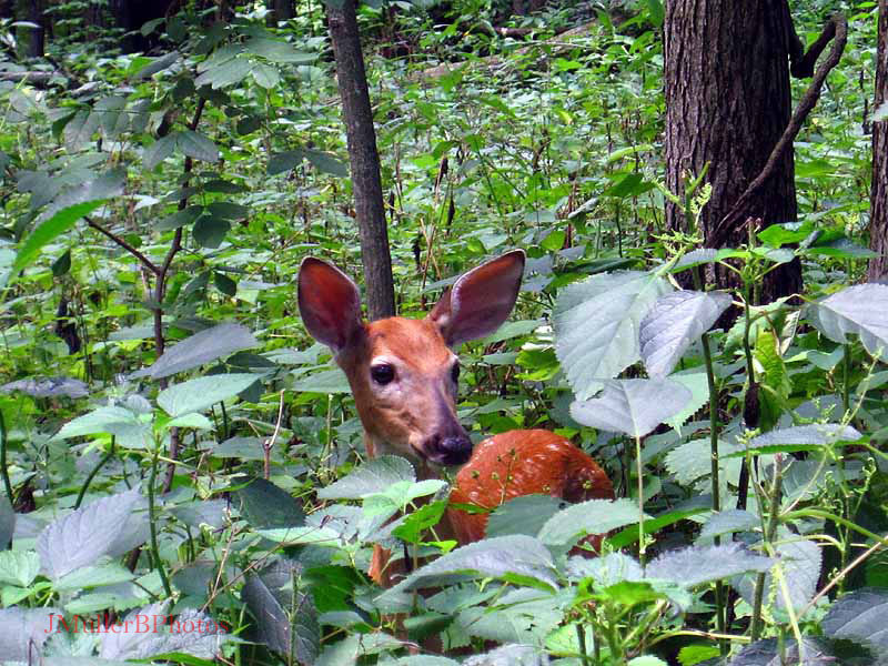 Fawn in nettles July 2012 Iowa