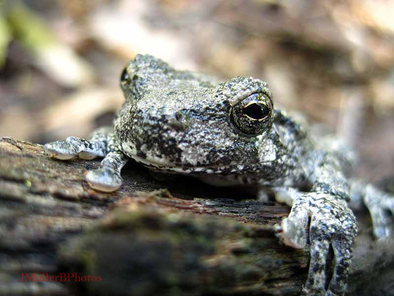 tree frog close-up