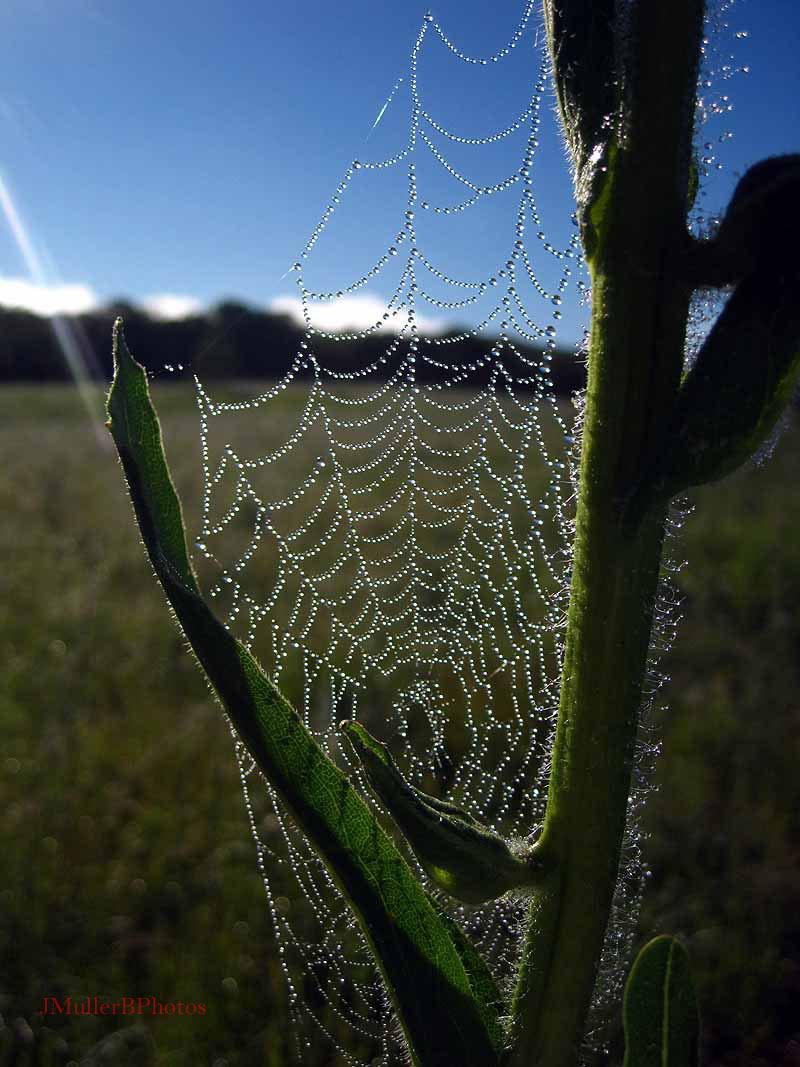 glowing spiderweb on compass flower Aug. 2012 Iowa