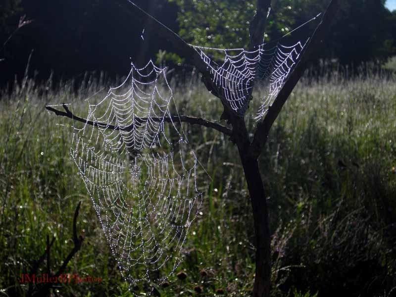2 Spiderwebs in Tree