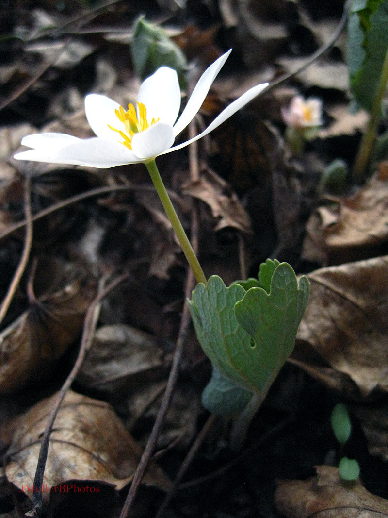 Bloodroot in Profile - March 2012