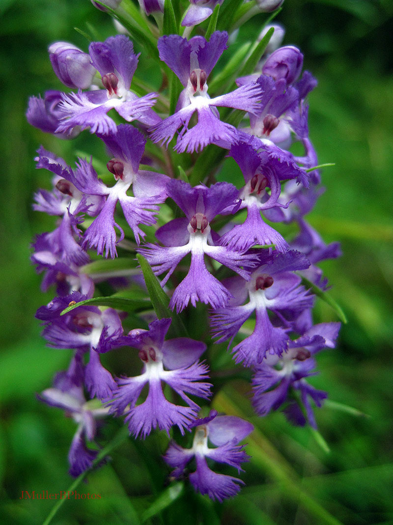 Purple Fringed Orchid - July 2012