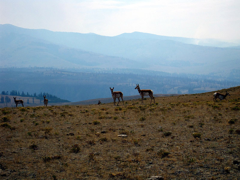 Pronghorns, Smoky Hills - Wyoming August, 2012