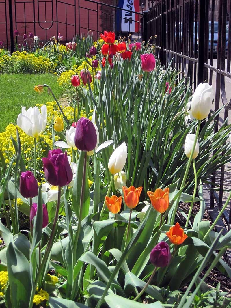 Galena Tulips