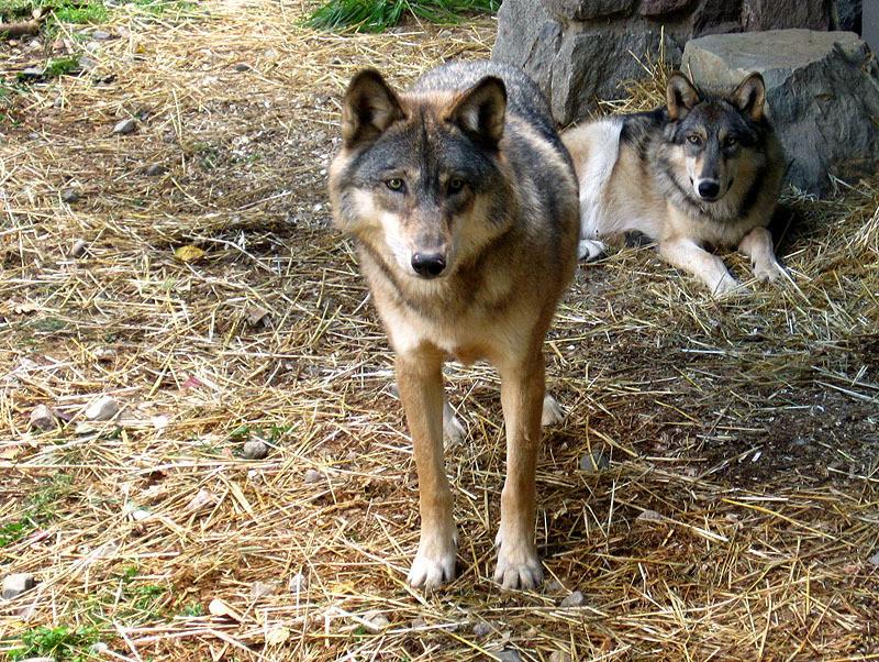 Two Wolves - Minnesota September, 2012