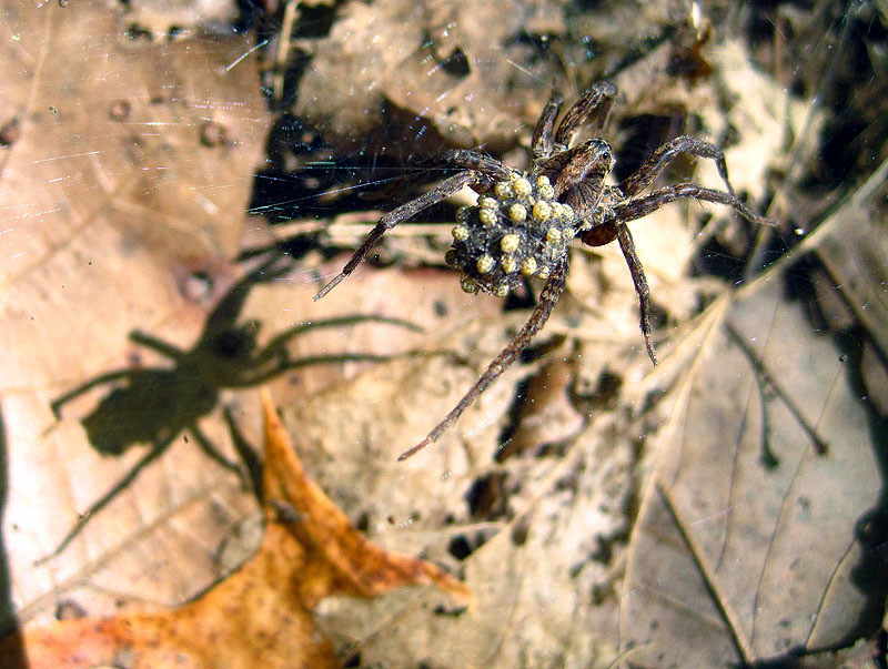Spider with Shadow, Young - Iowa July 2012