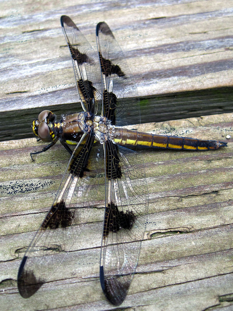 Dragonfly 12 - Spotted June 2012