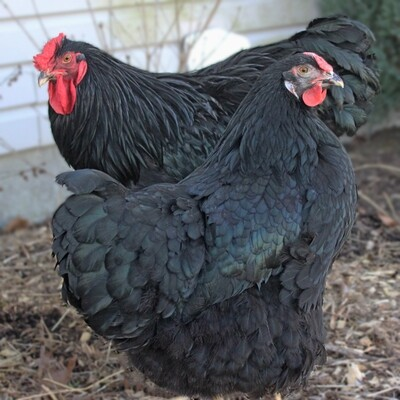 Black/Split to Lavender Wyandotte Hatching Eggs