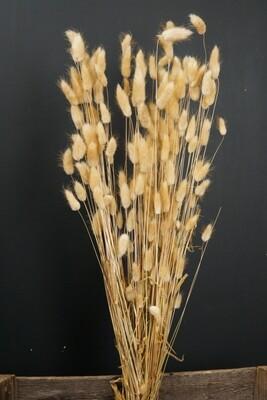 Lagurus | Trockenblume | natur