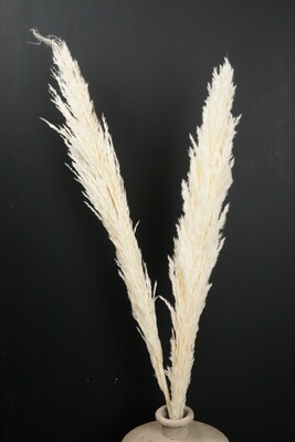 Pampasgras | Trockenblume | weiss gebleicht