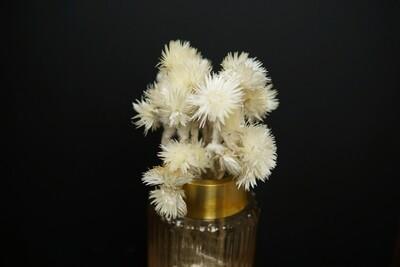 Capblume | Trockenblume