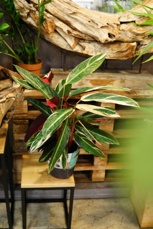 Calathea makoyana Triostar