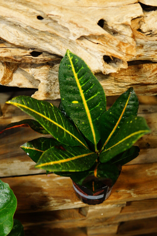 Croton Petra | Zimmerpflanze