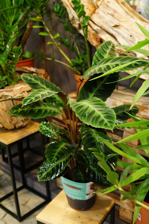 Calathea warscewiczii | Zimmerpflanze