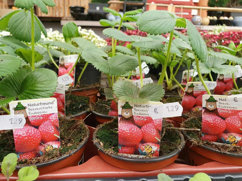 Junge Erdbeeren